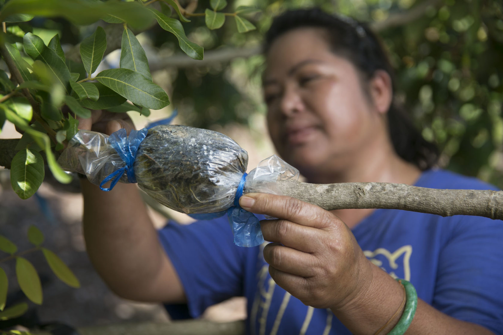 Chhorry Oung checks on her fruit tree grafting on land managed by Turtle Bay, Thursday, August 20, 2015 in Kahuku, Hawaii.  The Trust for Public Land is working with the North Shore Community Land Trust (NSCLT) to permanently dedicate the land to agricultural uses, removing the constant threat of it falling prey to development as part of the popular North Shore area.  (Photo by Marco Garcia for The Trust for Public Land)
